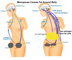 Menopause Hormone and Fat Distribution