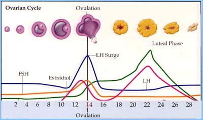 Hormonal Changes During Menstruation